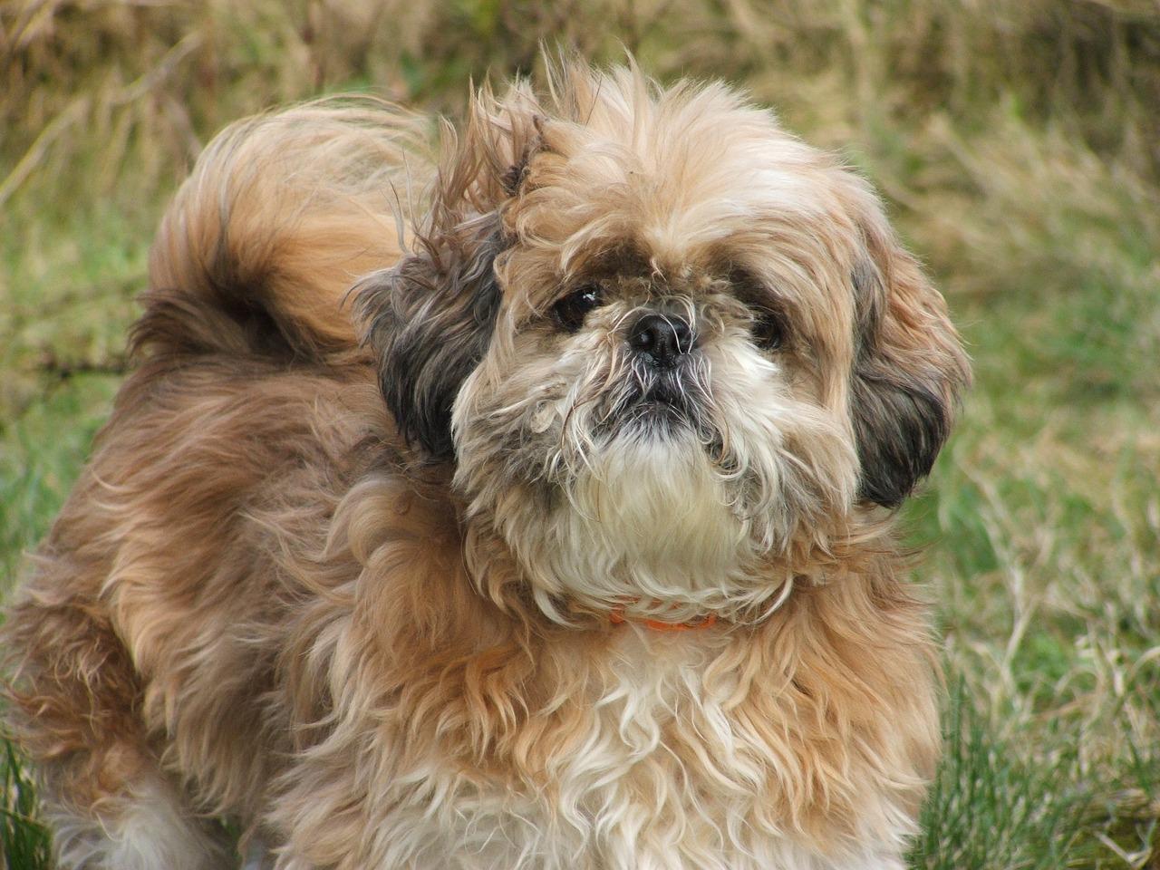 Rasy małych psów z włosami