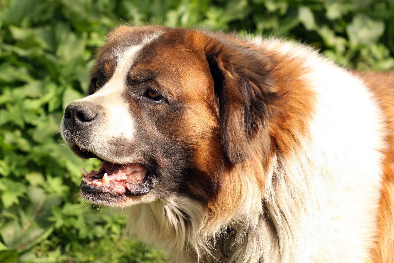 Rekordziści wśród psów – największe psy rasowe