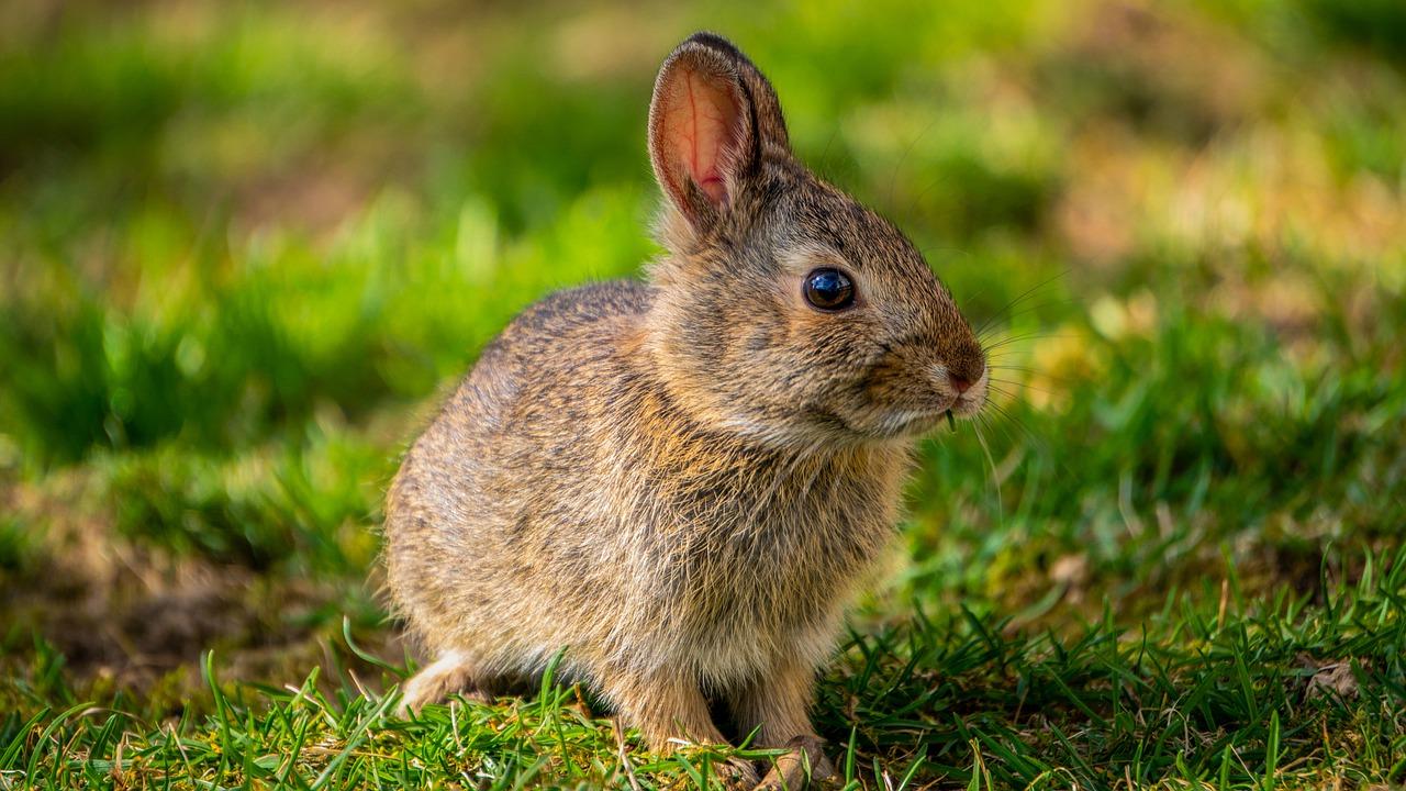 Zachowanie i tryb życia króliczka – kiedy się martwić, a kiedy jest to zwykłe zachowanie?