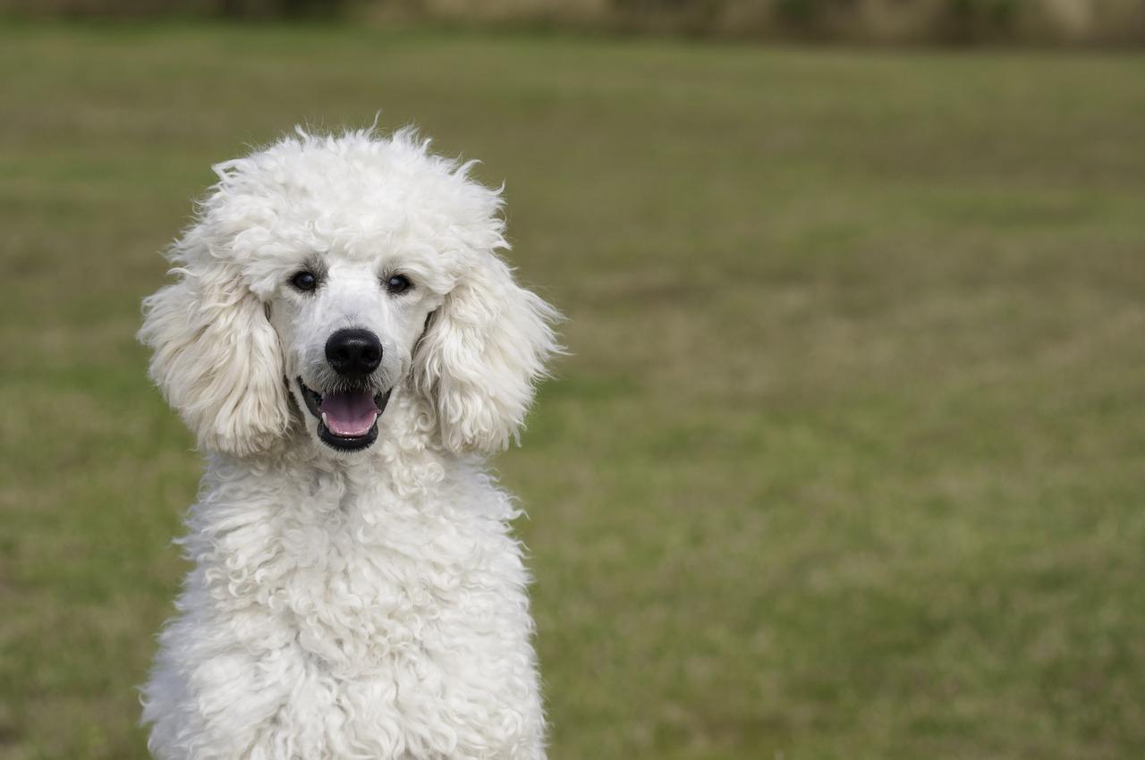 Rasy psów idealne dla alergików, nie gubiące sierści
