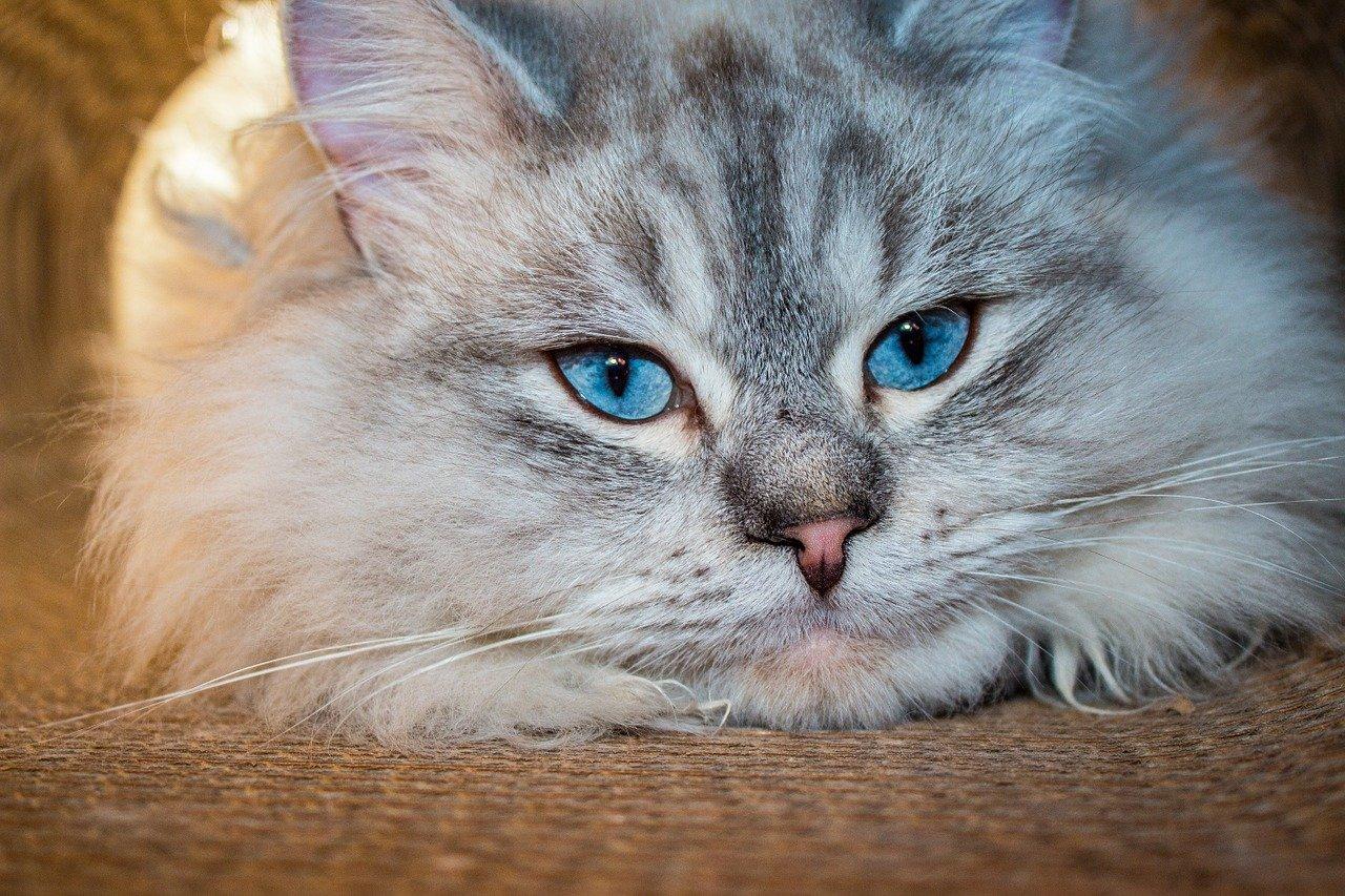 Kot syberyjski leśny, charakter, utrzymanie.