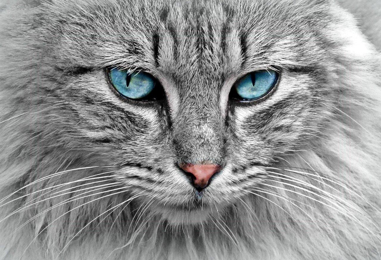 Objawy toksoplazmozy u kota, jak je rozpoznać i jak reagować?