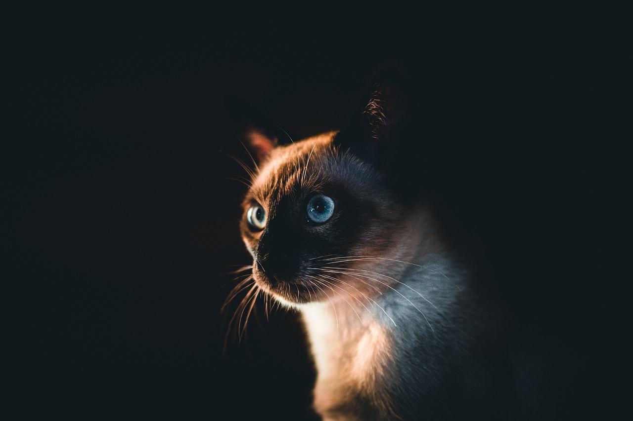 Koty o migdałowych oczach, czyli kociaki syjamskie