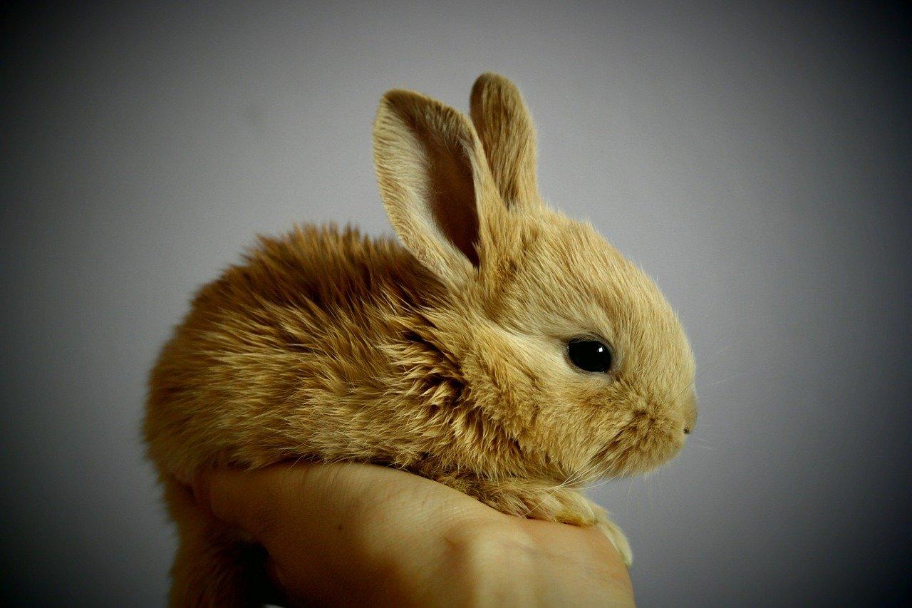 Jaka jest prawdziwa cena królika miniaturki?