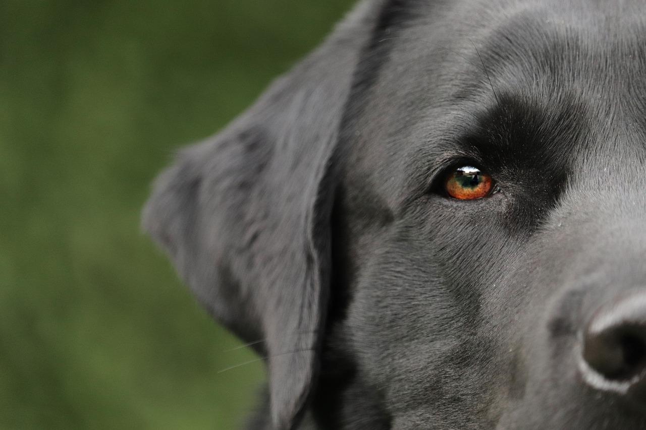 Labradory opis rasy, charakter, wady i zalety