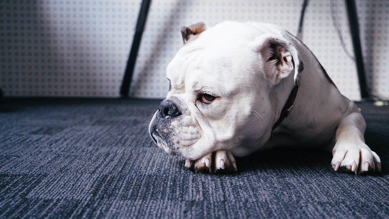 Co ile trzeba szczepić psa na wściekliznę i inne choroby?